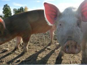 Ser ni den lilla blå hörsnäckan i grisens öra? Vem lyssnar hon på?
